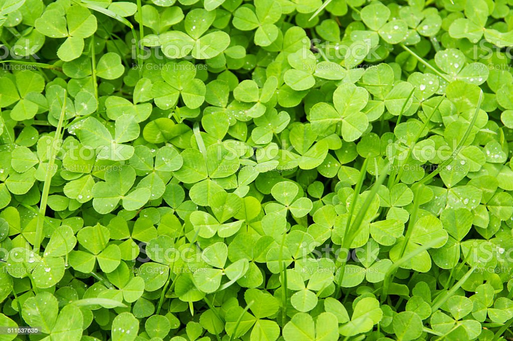 leaves of clover background stock photo