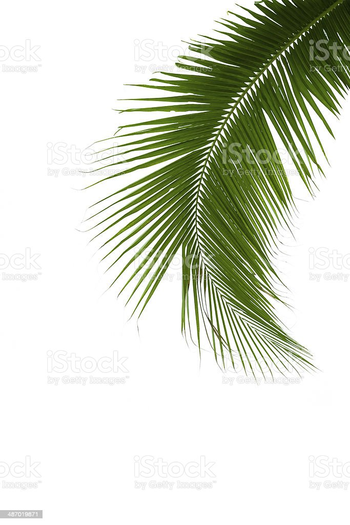 Leaves of coconut tree isolated on white background stock photo