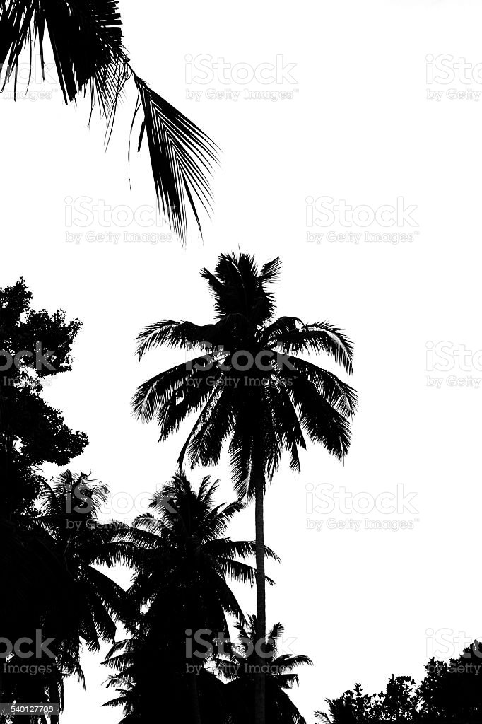 Leaves of coconut tree isolated on white background. stock photo