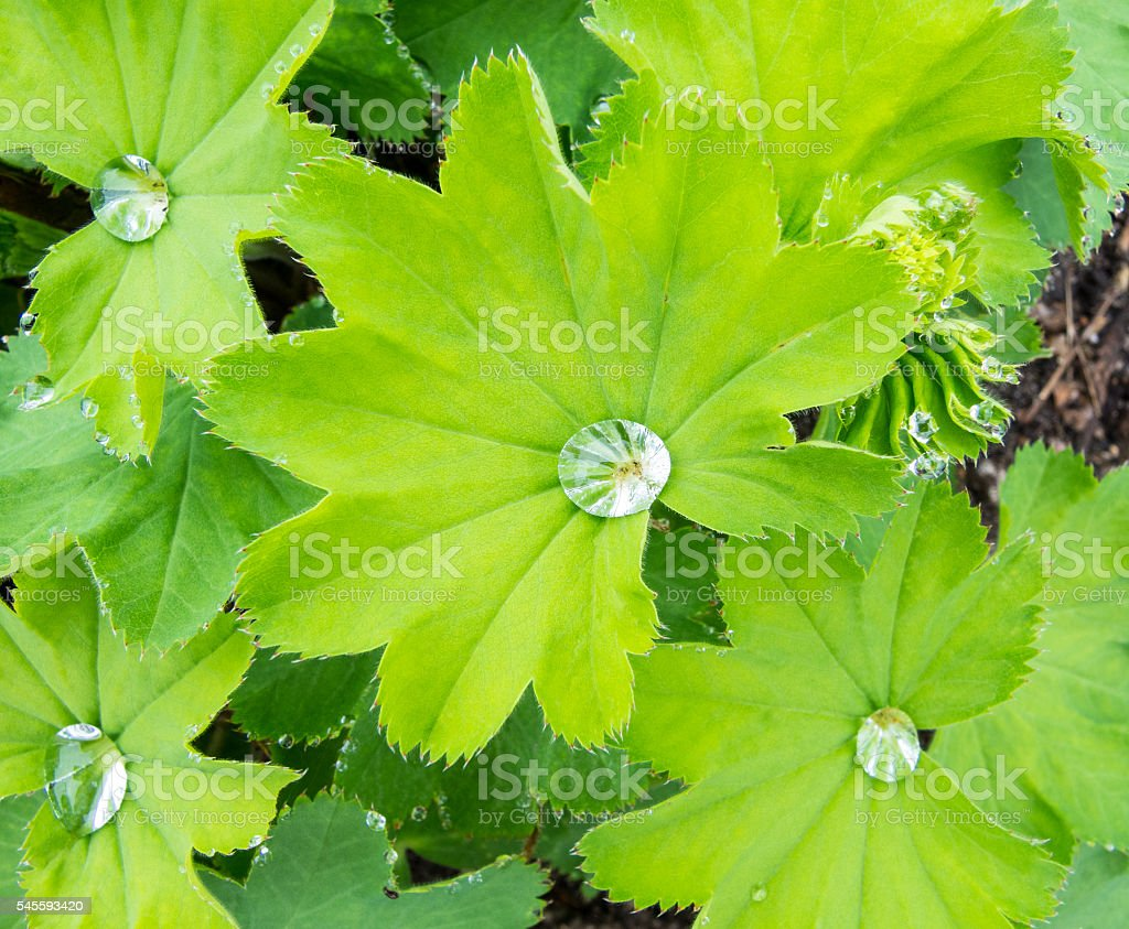 Leaves of Common Lady's Mantle stock photo