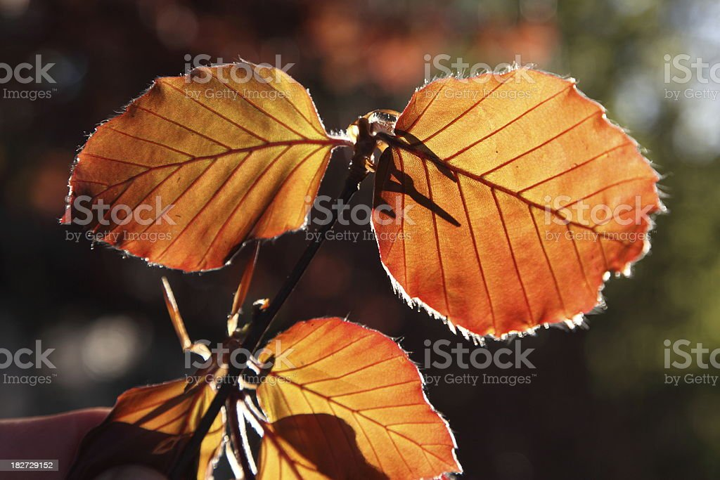 Leaves of Copper beech in the spring stock photo