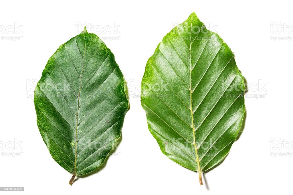 Leaves of Fagus sylvatica stock photo