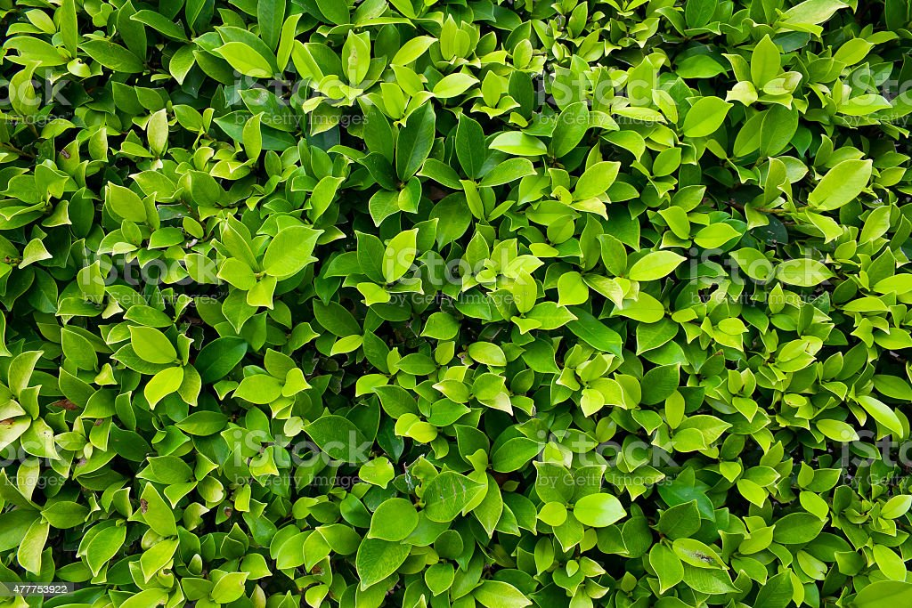 Leaves of Ficus altissima Blume or council tree stock photo