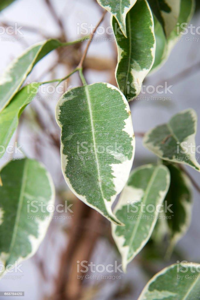 Leaves Of Ficus Benjamina stock photo