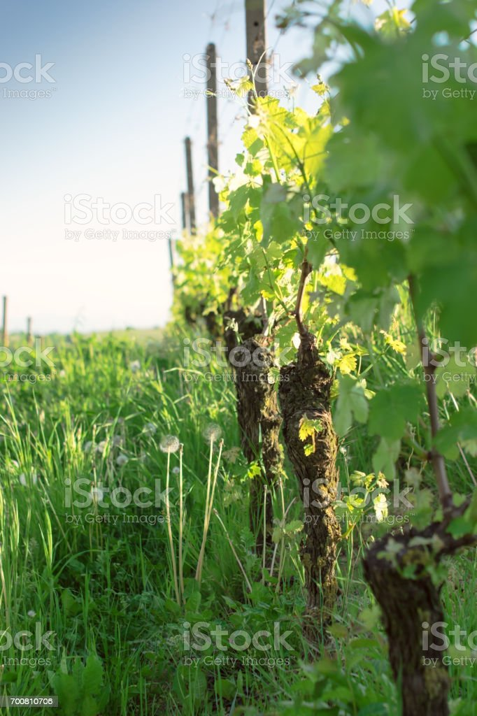 Leaves of grapes on an Italian vineyard in sunlight stock photo