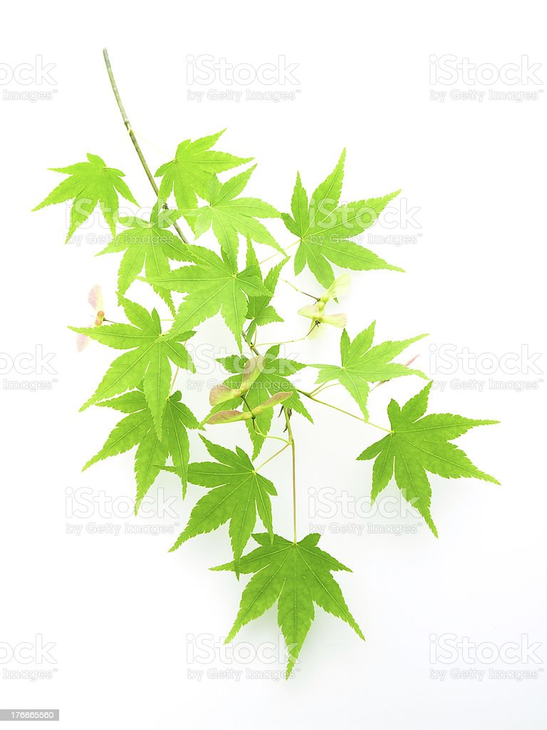 Leaves of japanese maple stock photo