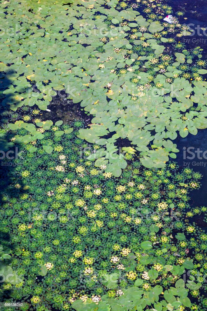 Leaves of lilies and caltrops on the water stock photo