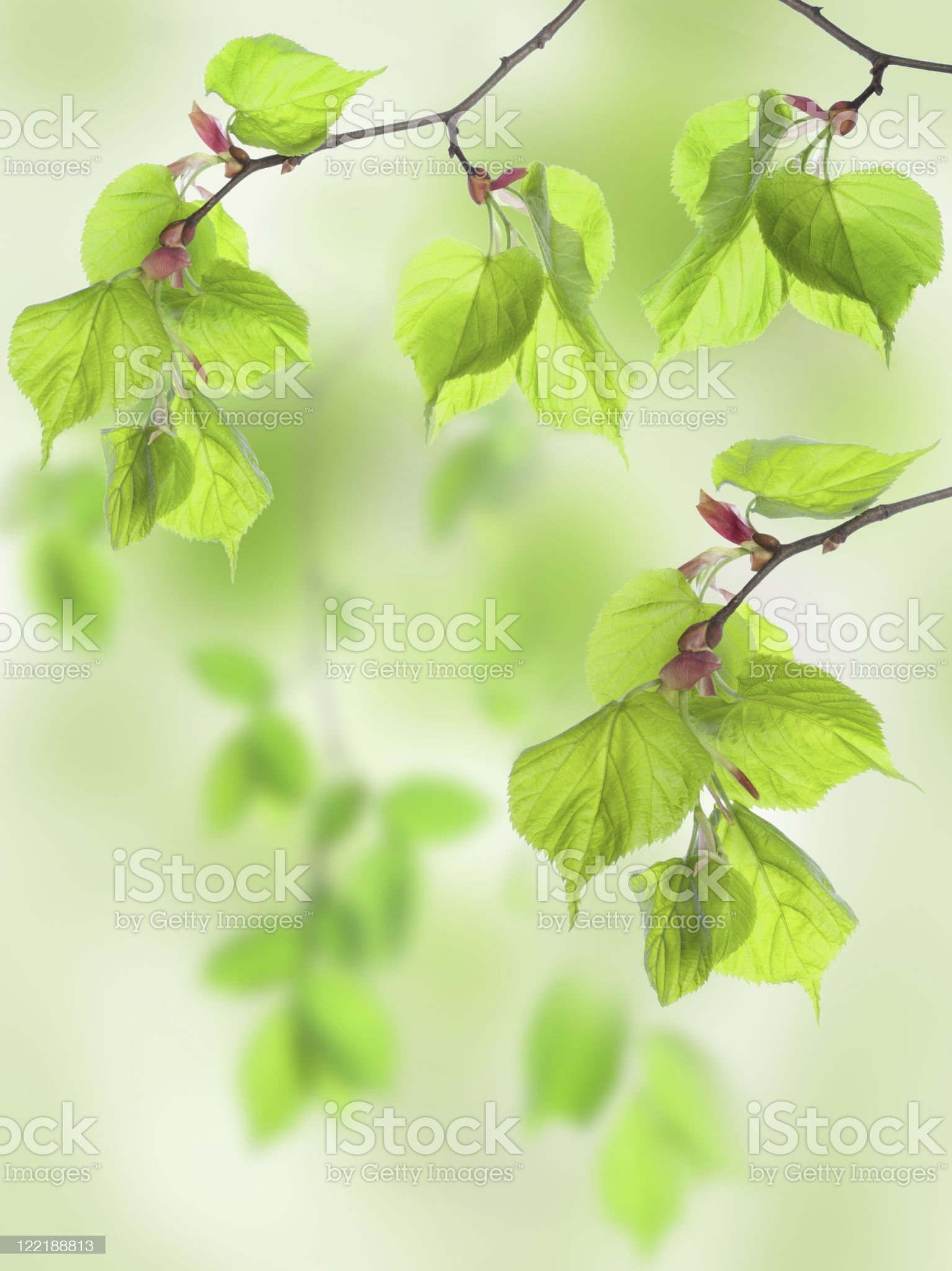 Leaves of lime in wood royalty-free stock photo