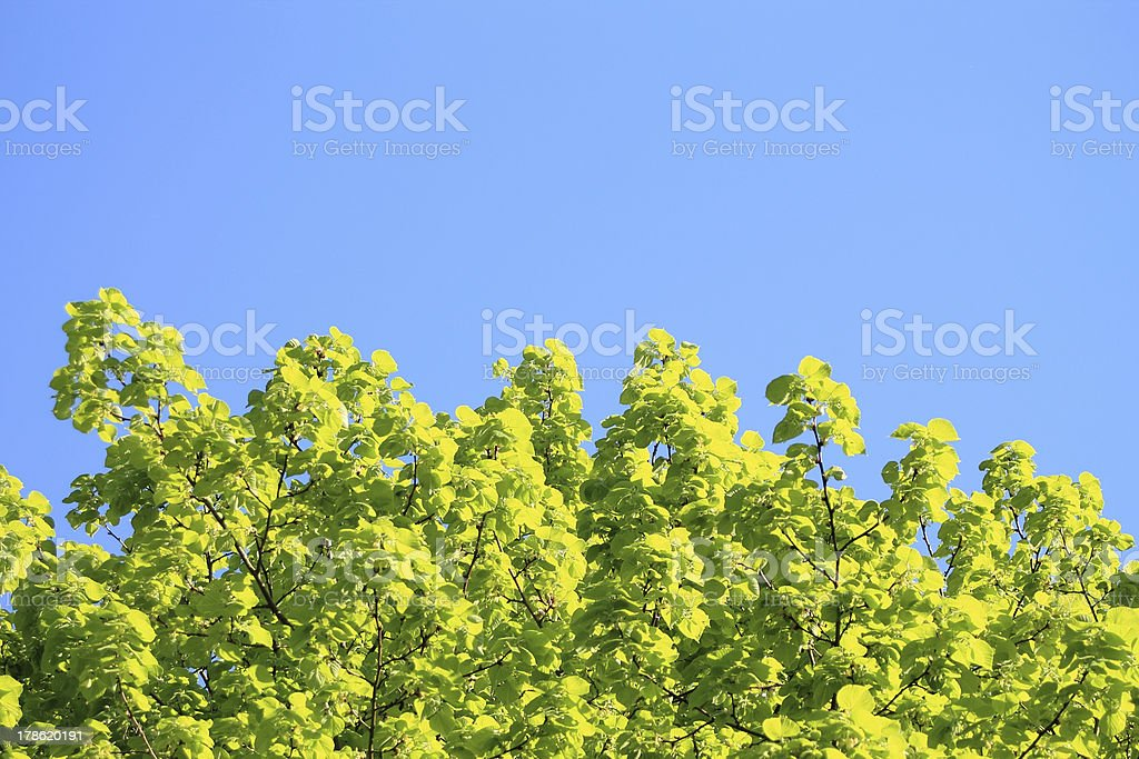 Leaves of lime tree in spring royalty-free stock photo