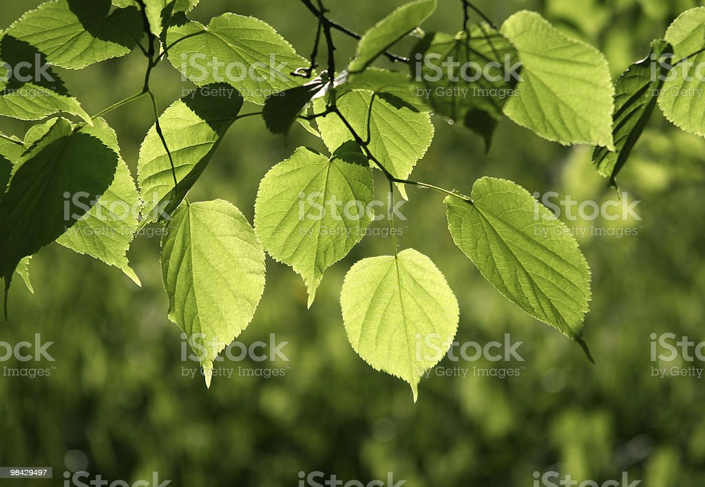 leaves of linden tree background stock photo