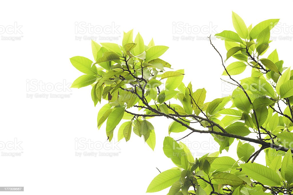 Leaves of mango tree in spring on white background stock photo