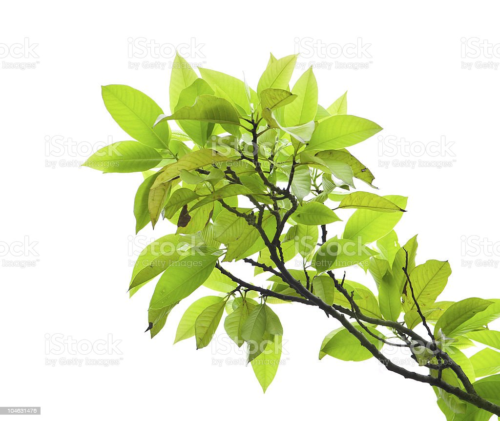 Leaves of mango tree stock photo
