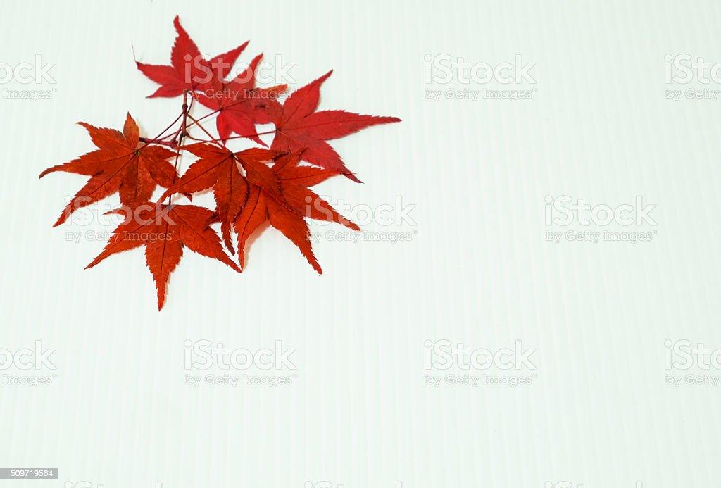 Blätter von Ahorn auf Weißer Hintergrund Lizenzfreies stock-foto