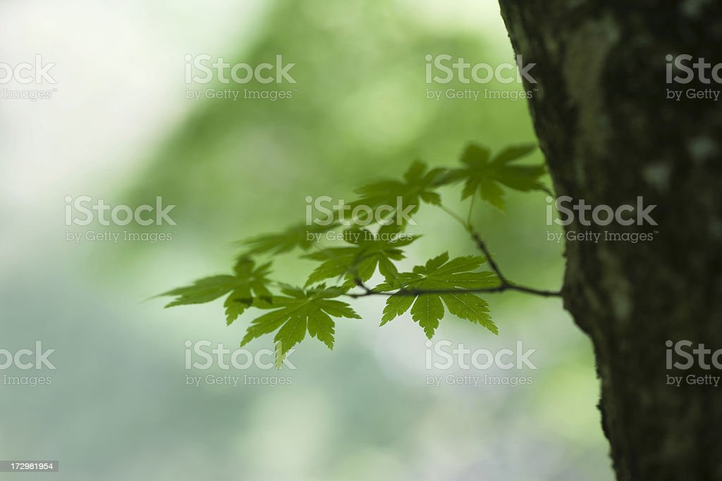 Leaves of Maple Tree royalty-free stock photo