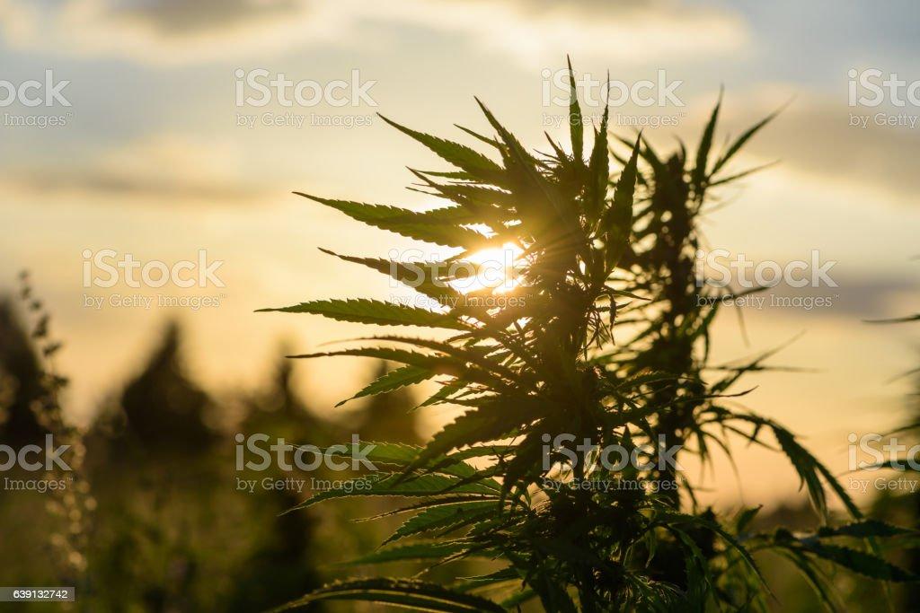 Leaves of marijuana stock photo