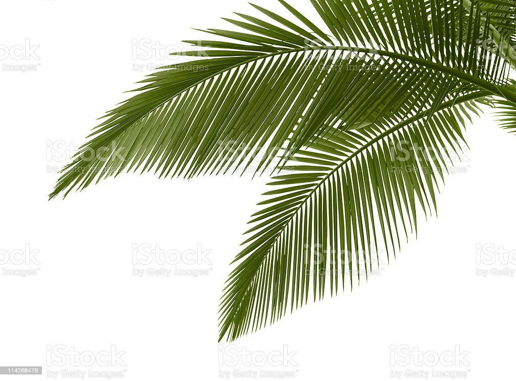 Leaves of palm on white background stock photo