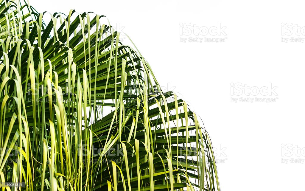 Leaves of palm tree isolatd on white background, copy space stock photo