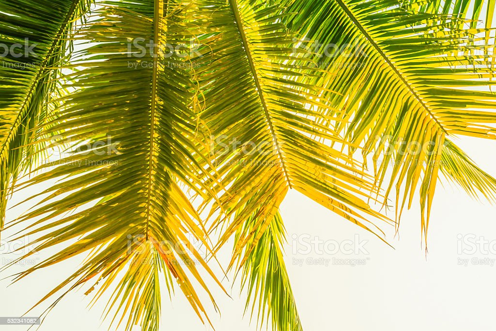 Leaves of palm tree isolated on white background. stock photo