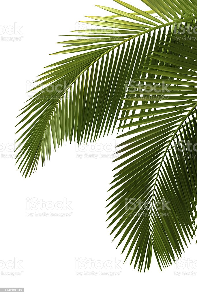Leaves of palm tree royalty-free stock photo