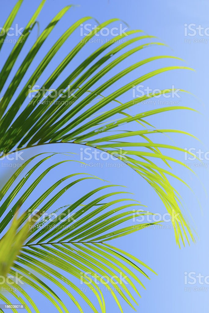 Leaves of palm tree stock photo