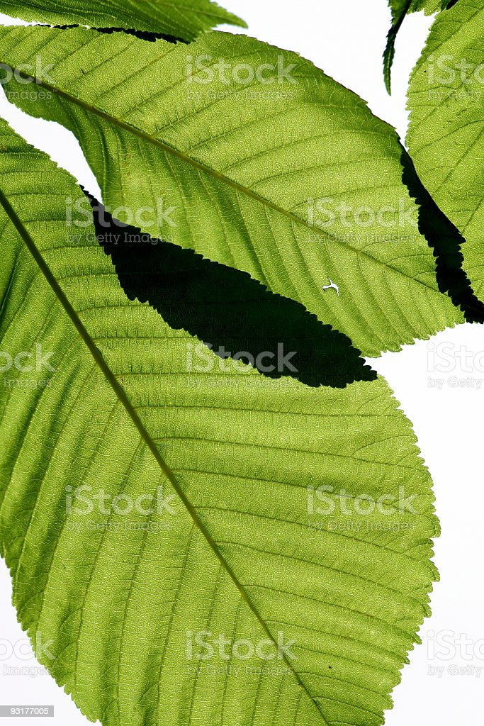 Leaves of plane tree royalty-free stock photo