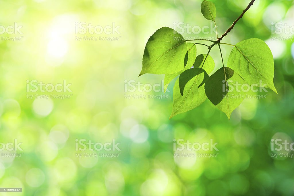 leaves of poplar stock photo