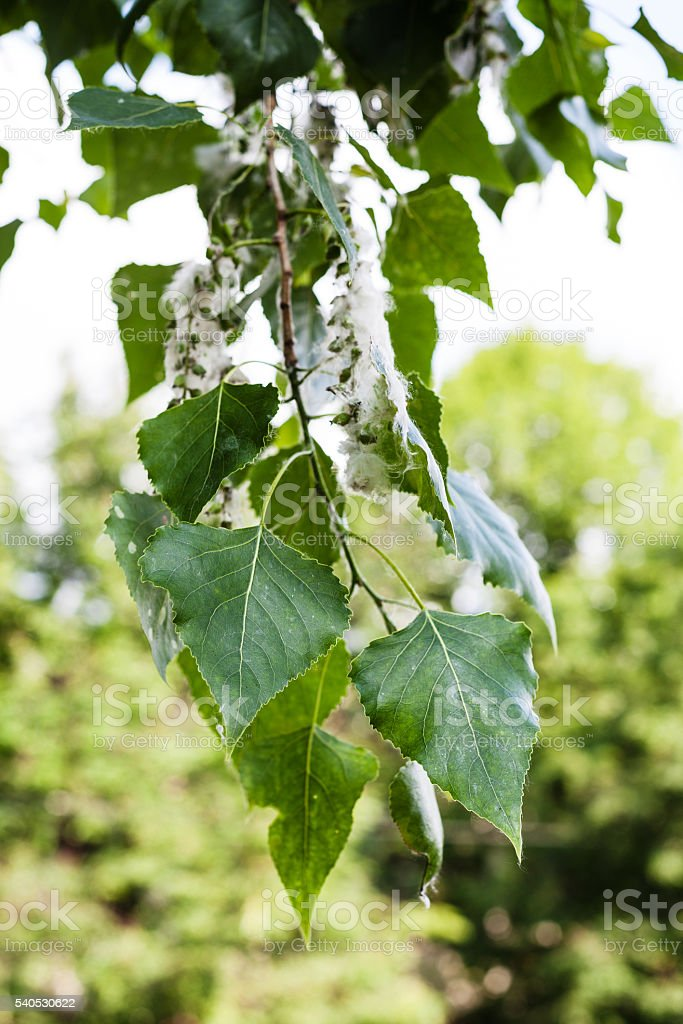 leaves of poplar tree and fluff on catkins stock photo