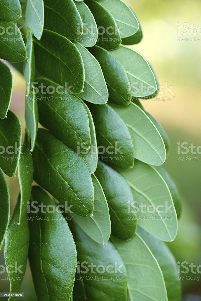 Leaves of rain tree. stock photo