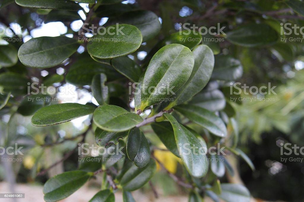 Leaves of Ryukyu ebony stock photo