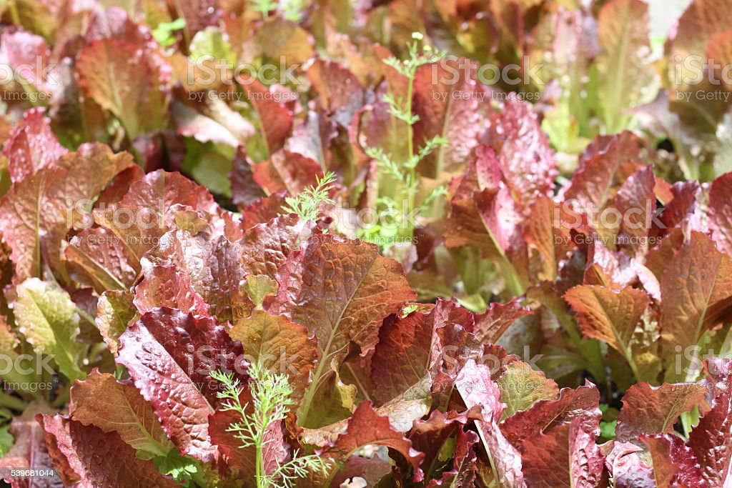 Leaves of salad in garden stock photo