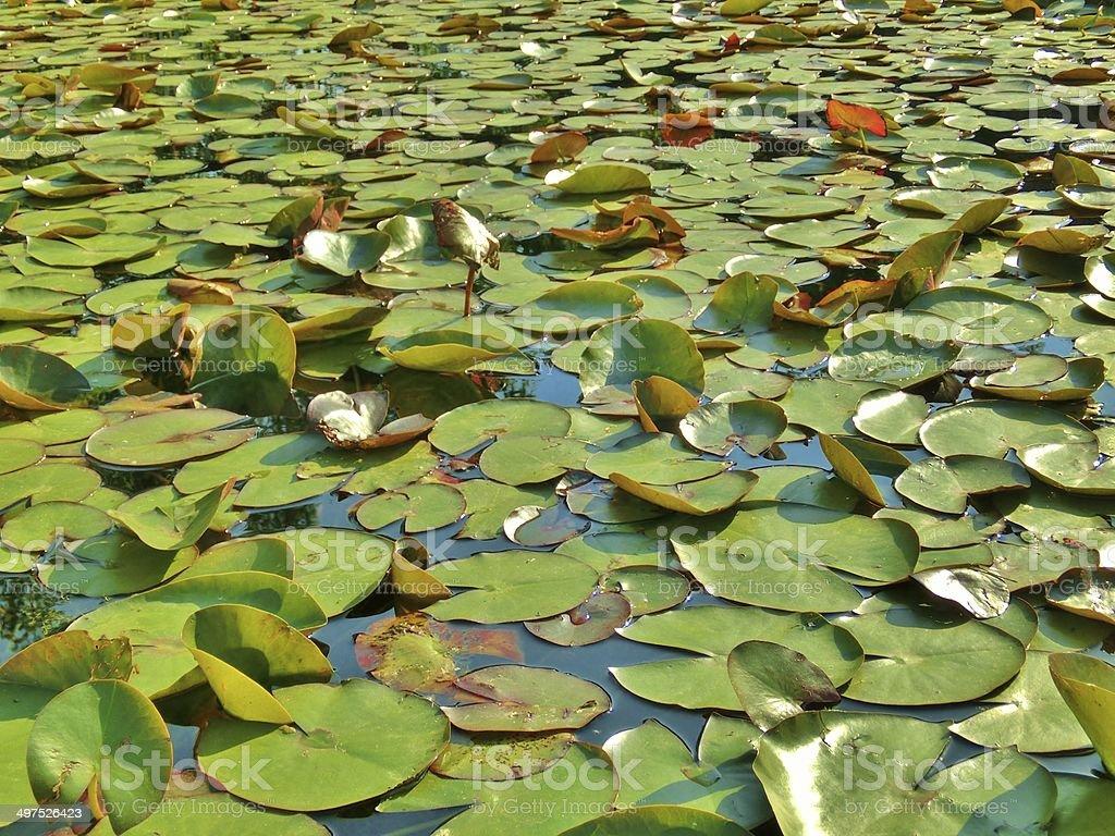 Feuilles de spatterdocks flotter dans un étang photo libre de droits
