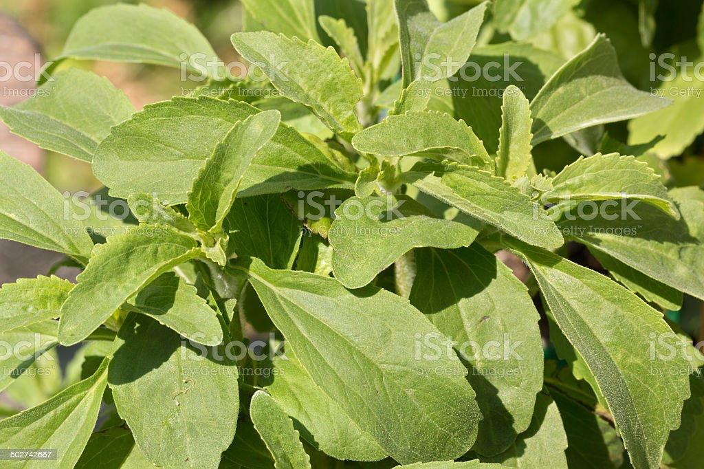 Leaves of Stevia Rebaudiana stock photo