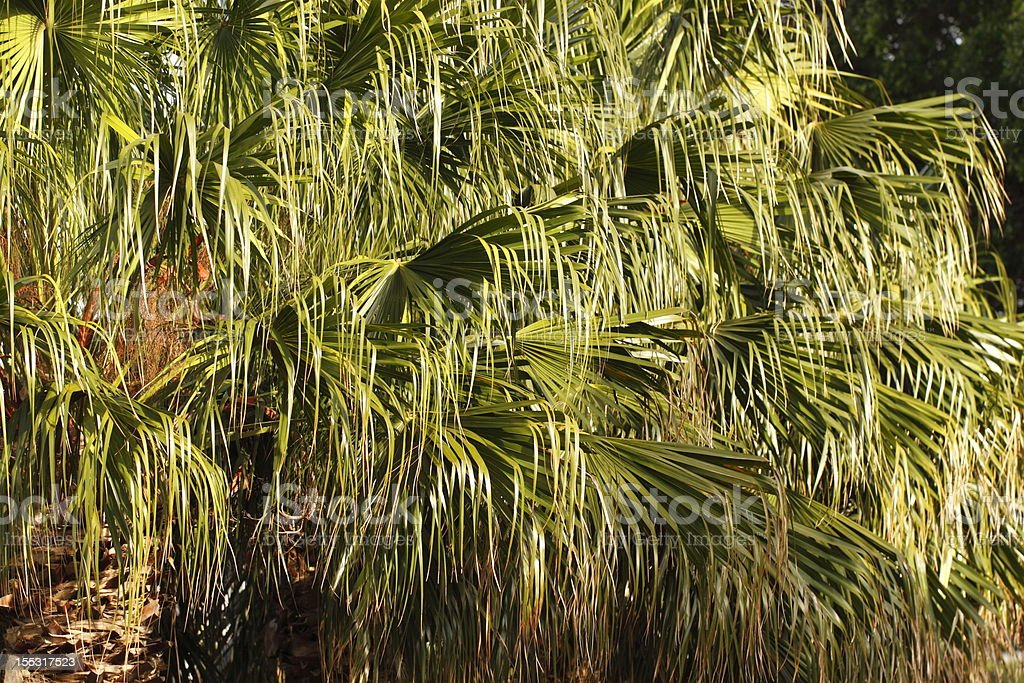 Leaves of the Cabbage Tree Palm stock photo