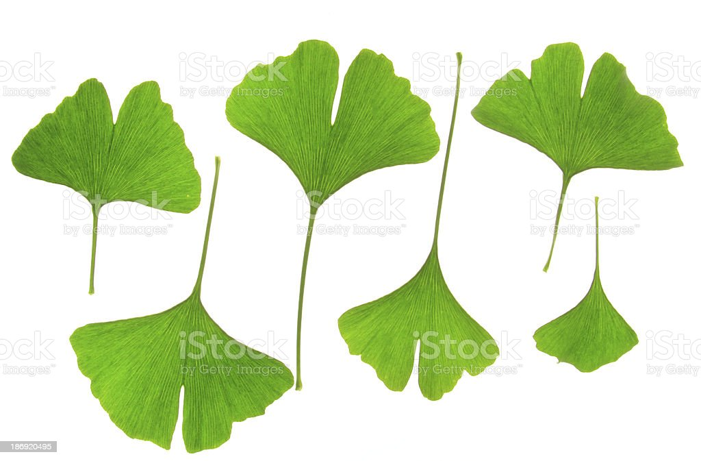 Leaves of the Ginkgo tree stock photo