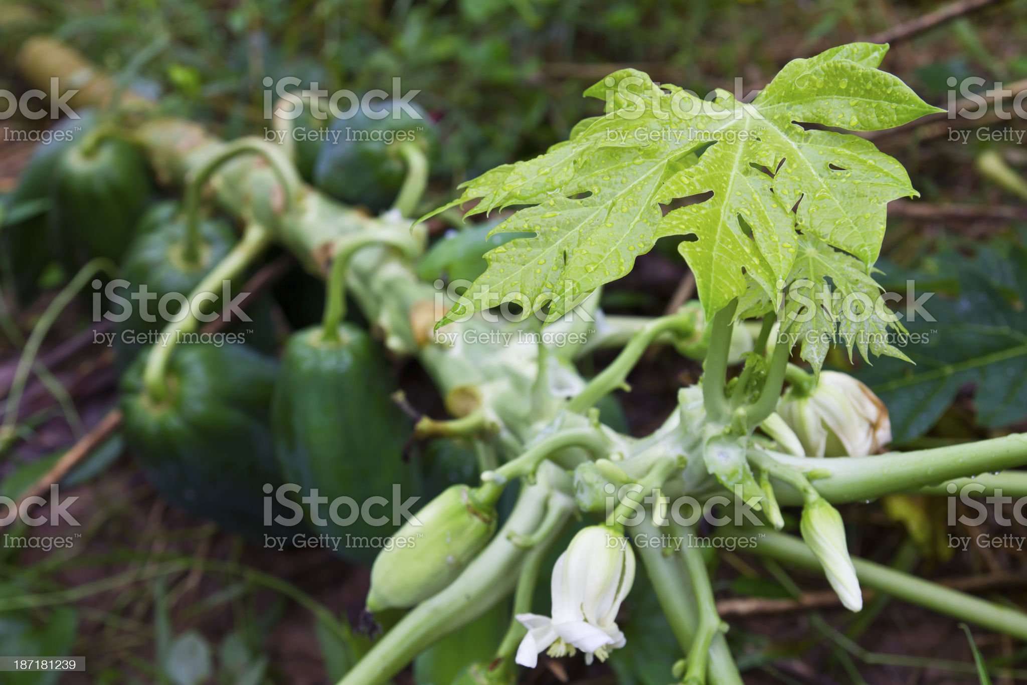 leaves of the papaya royalty-free stock photo