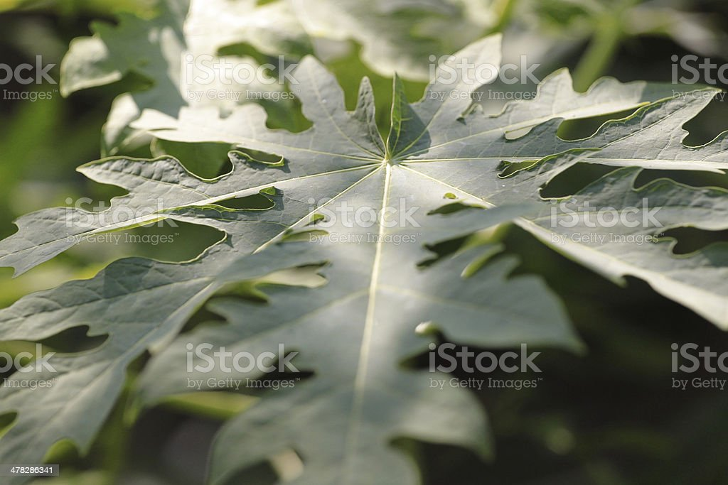 Leaves of the papaya. royalty-free stock photo