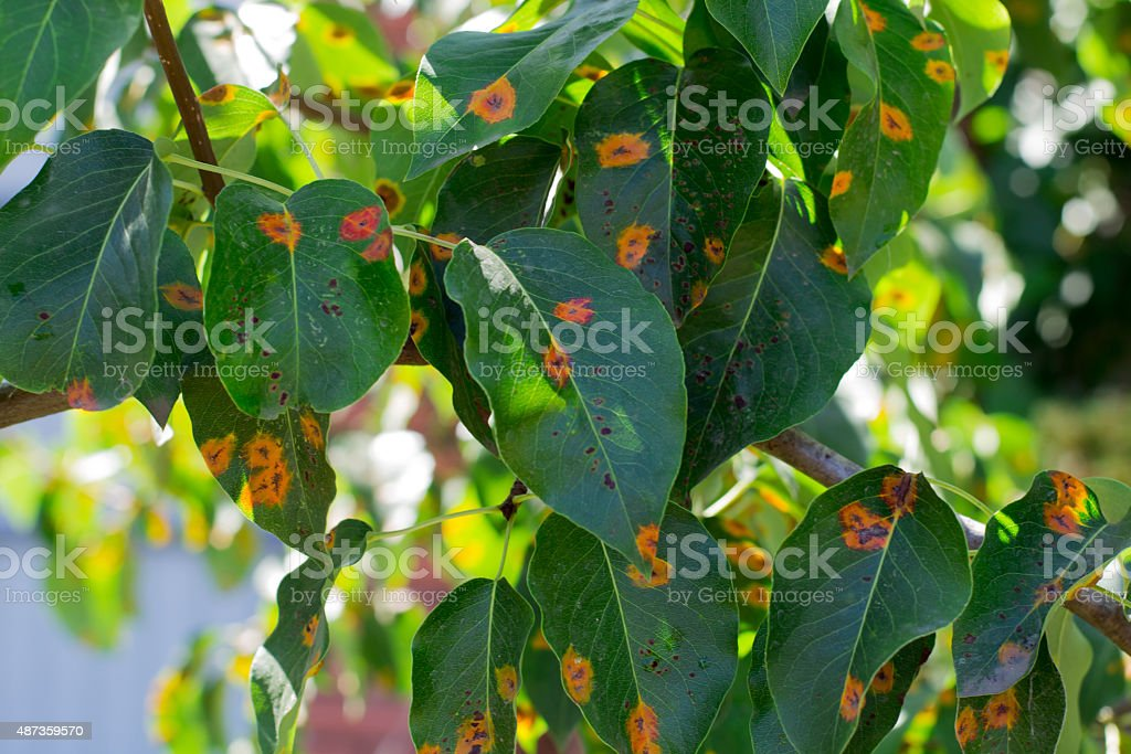 leaves of the plant disease stock photo
