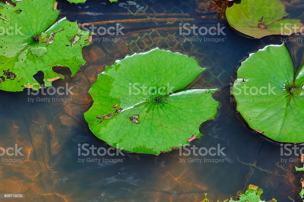 Leaves of the waterlily on water surface stock photo