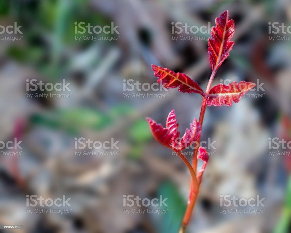 Leaves of three, let them be stock photo