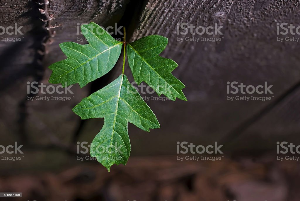 Leaves of Three royalty-free stock photo