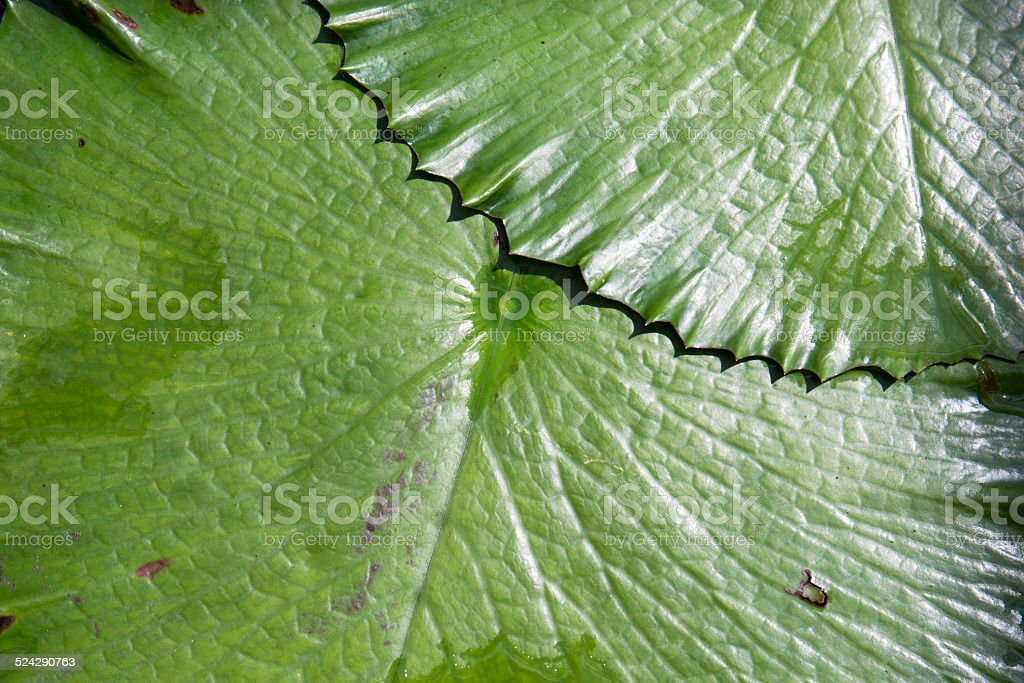 Leaves of water lily stock photo