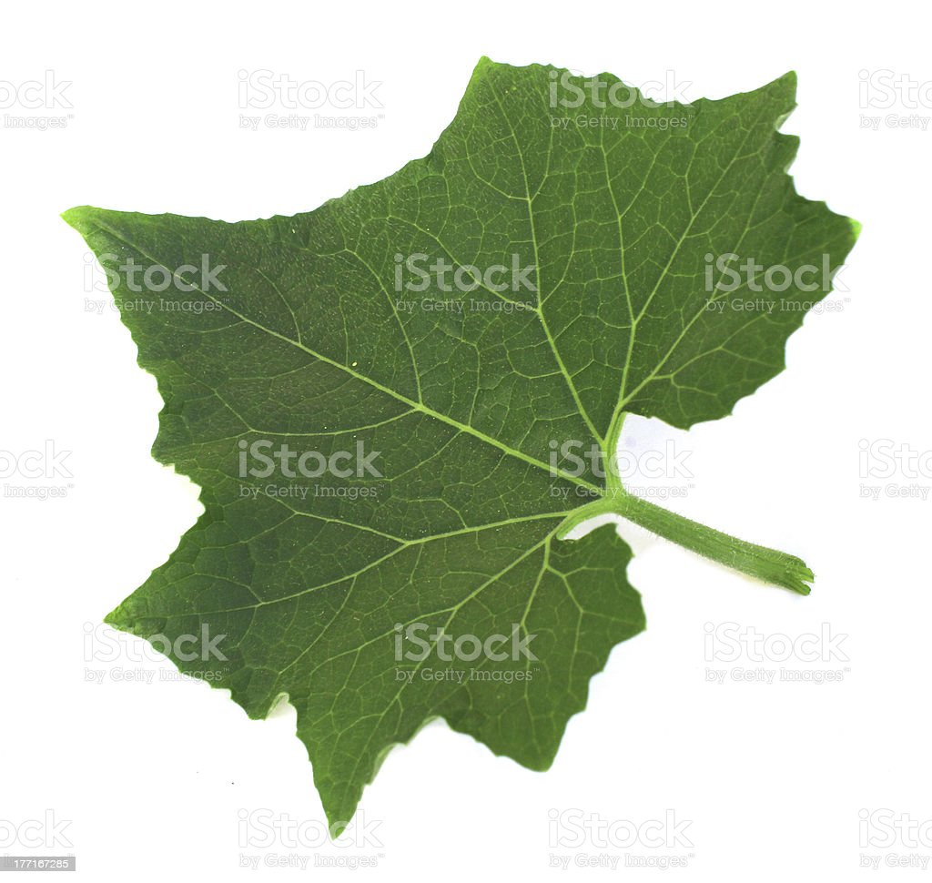 leaves of wax gourd royalty-free stock photo
