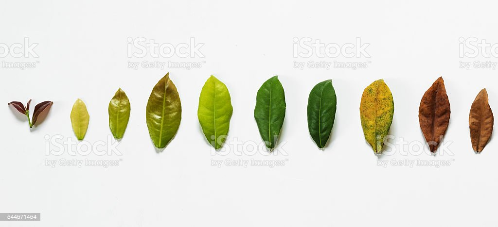 Leaves on white background, concept of cycle of life stock photo
