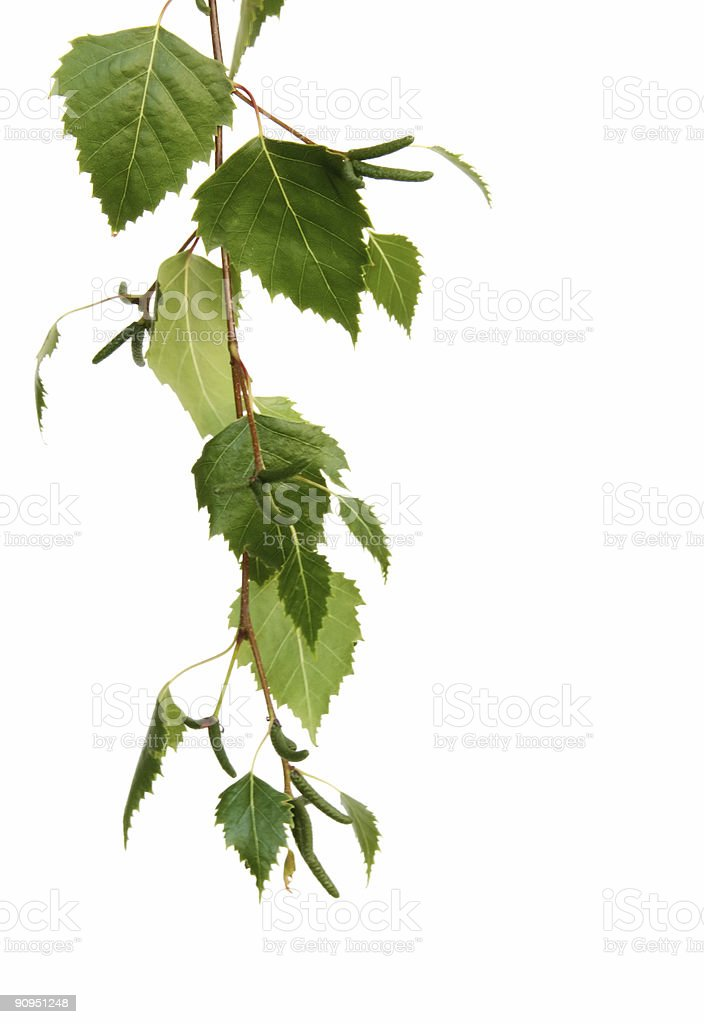 Leaves on White #1 royalty-free stock photo