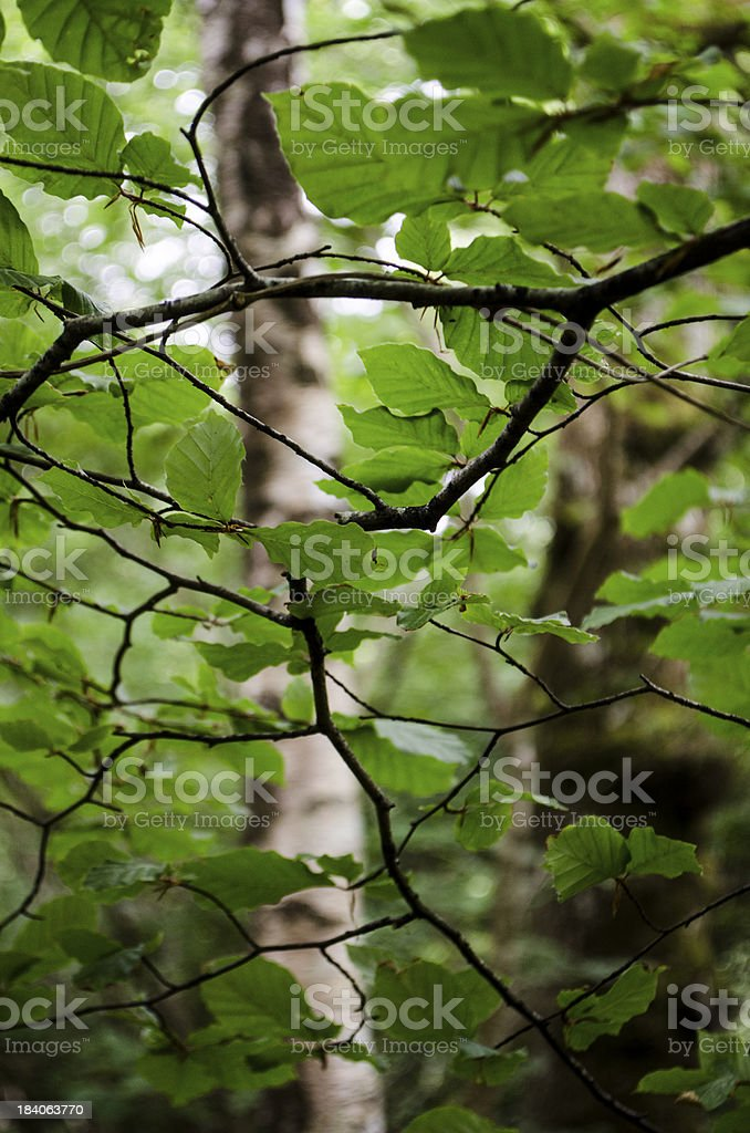 leaves overhead royalty-free stock photo