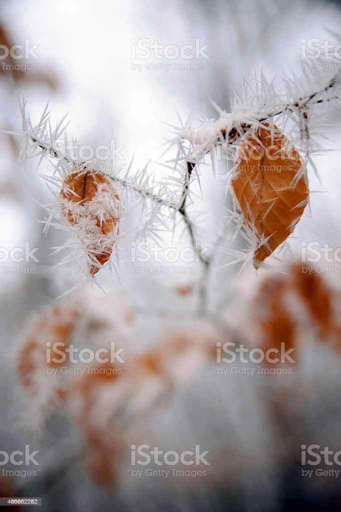leaves rimed with frost stock photo