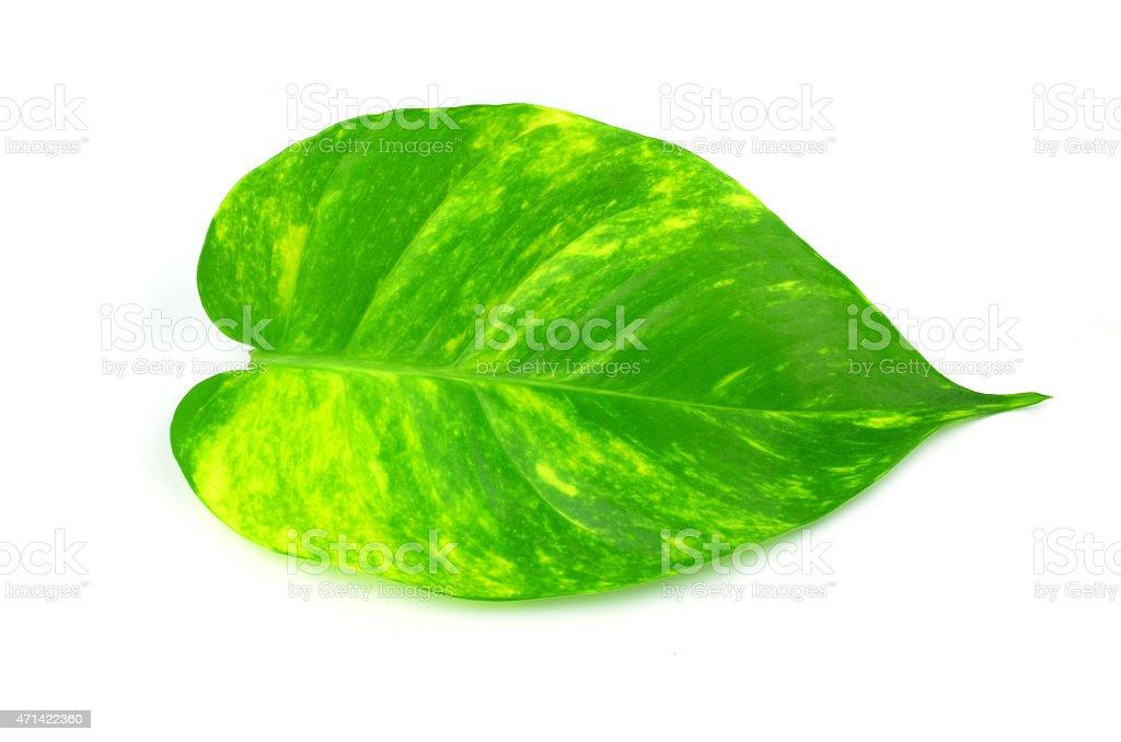 leaves  Scindapsus aureus stock photo