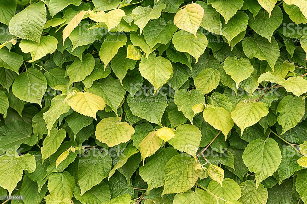 leaves texture3 stock photo