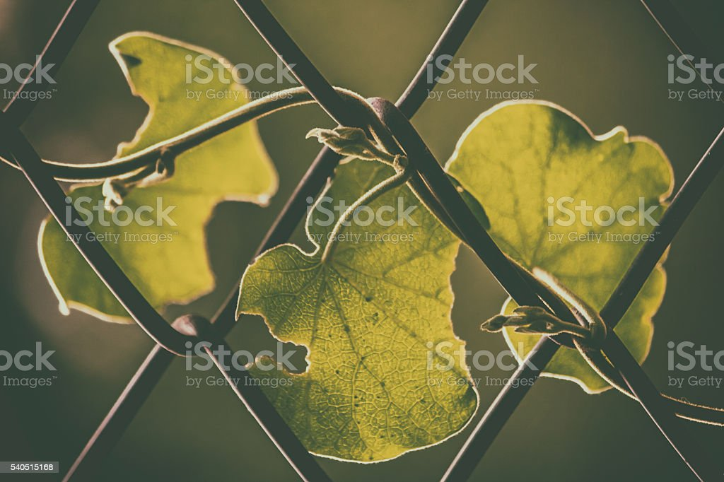 Leaves twined around steel grill stock photo