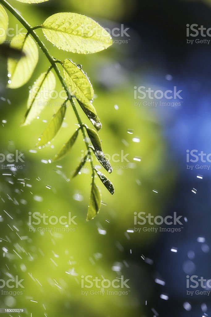 Leaves With Raindrops stock photo